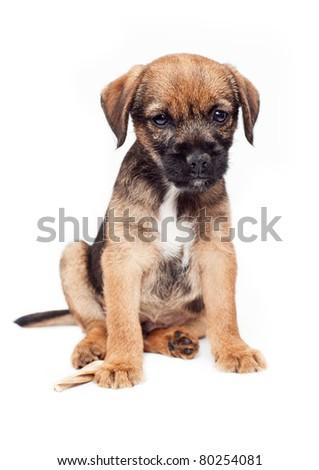 Border terrier puppy #80254081