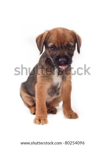 Border terrier puppy with tongue stuck out