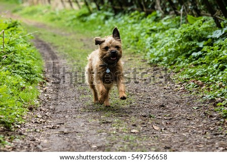 Border Terrier Running #549756658