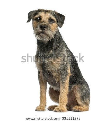 Border terrier sitting in front of a white background #331111295