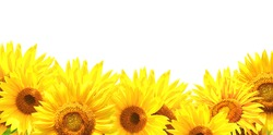Border with sunflowers. Isolated on white background
