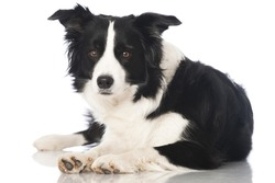Bordercollie dog