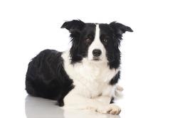 Bordercollie dog