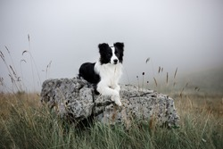 Bordercollie walking in the fog