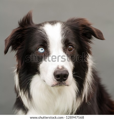bordercollie with one brown and one blue eye stock photo