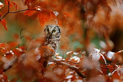 Boreal owl, Aegolius funereus, in the orange larch autumn forest in central Europe, detail portrait in the nature habitat, Czech Republic. Beautiful little bird in the forest.