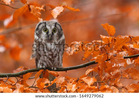 Boreal owl (Aegolius funereus) perched on beech branch in colorful autumn forest. Typical small owl with big yellow eyes covered by orange leaves. Known as Tengmalm's owl. Habitat Eurasia, N. America. Foto stock ©