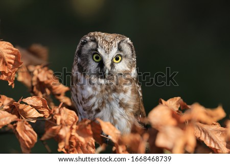 Boreal owl (Aegolius funereus) perched on beech branch in colorful forest. Typical small owl with big yellow eyes covered by orange leaves. Known as Tengmalm's owl. Habitat Europe, Asia, N. America. Foto stock ©