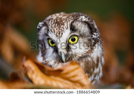 Boreal owl, Aegolius funereus, perched on beech branch in colorful forest. Typical small owl with big yellow eyes covered by orange leaves. Known as Tengmalm's owl. Habitat Europe, Asia, N. America. Foto stock ©