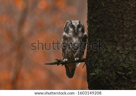 Boreal owl (Aegolius funereus) sitting next to tree trunk with colorful autumn forest in background. Small owl with big yellow eyes. Typical owl known as Tengmalm's owl. Habitat Eurasia, N. America. Foto stock ©