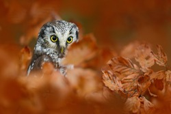 Boreal owl in the orange leave autumn forest in central Europe. Detail portrait of bird in the nature habitat, Czech Republic. Bird with big yellow eyes.