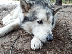Bored alaskan malamute on the metal chain lying on ground and resting before sleigh ride. Beautiful husky dog portrait. Closeup of dog looking to the side. Brown eyes