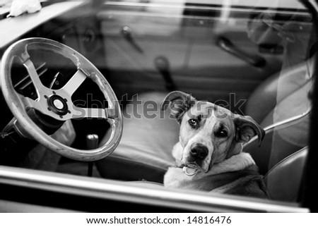 Bored dog in sitting in car looking through window