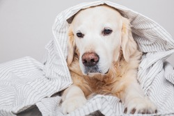 Bored sad golden retriever dog under light gray and white stripped plaid in contemporary bedroom. Pet warms under blanket in cold winter weather. Pets friendly and care concept.