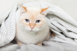 Bored young light ginger mixed breed cat under light gray plaid in contemporary bedroom. Pet warms under a blanket in cold winter weather. Pets friendly and care concept.