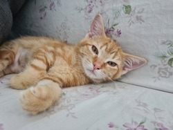 bored young short hair orange brown kitty cat lie on a sofa under a pillow