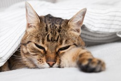 Bored young tabby mixed breed cat under light gray plaid in contemporary bedroom. Pet warms under a blanket in cold winter weather. Pets friendly and care concept.