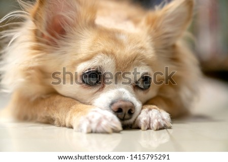 boring brown furry chihuahua dog waiting for wood from owner #1415795291