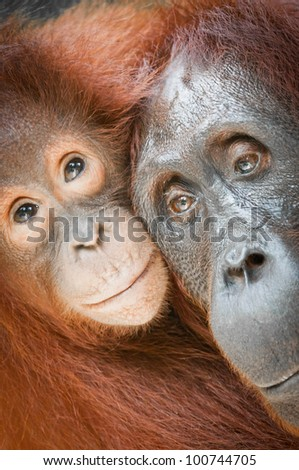 Bornean Orangutans - Mother and Baby, Tanjung Puting National Park, Kalimantan, Borneo. Vertical format with the subject filling the frame.