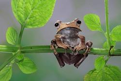 Borneo Eared Frog native to Borneo Indonesia