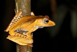 Borneo eared frog (Polypedates otilophus), night scene, Kubah National Park, Sarawak, Borneo, Malaysia