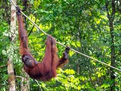 Borneo Orangutan at the Semenggoh Nature Reserve in Kuching, Sarawak State, Malaysia.