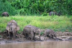 Borneo Pygmy Elephant (Elephas maximus borneensis) in Borneo, Malaysia