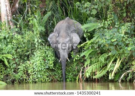 Borneo pygmy elephants (Elephas maximus borneensis) - Borneo Malaysia Asia Stock photo ©