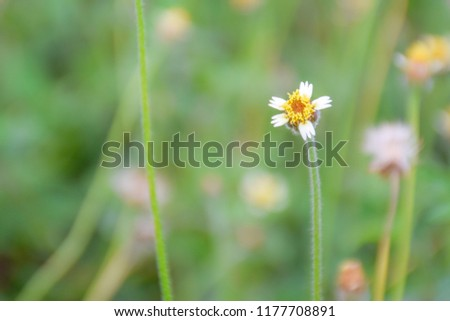 Borreria laevicaulis is a common plant that has been found as a herb #1177708891