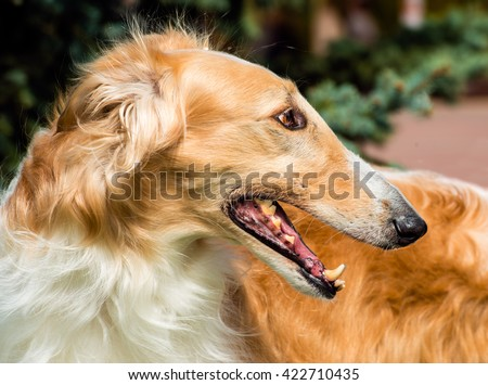 Borzoi Russian side portrait. The Borzoi Russian dog is on the green grass. #422710435