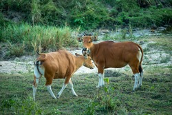 Bos javanicus ,Banteng is wildlife in forest of Thailand. It's rare specie and conservation status is endangered. Population trend are decreasing.