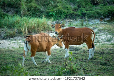 Bos javanicus ,Banteng is wildlife in forest of Thailand. It's rare specie and conservation status is endangered. Population trend are decreasing. Stockfoto ©