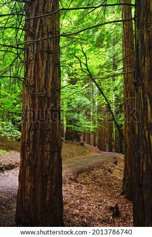 Bosque De Secuoyas, Cabezón de la Sal, Cantabria, Spain Foto stock ©