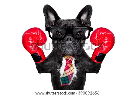 boss french bulldog boxing dog with big red gloves isolated on white background.