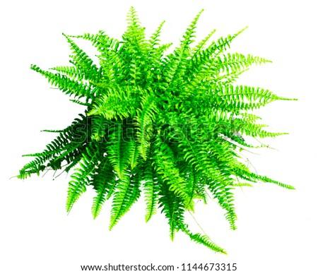 Boston fern isolated on white background #1144673315