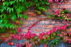 Boston ivy climbing on brick wall in autumn