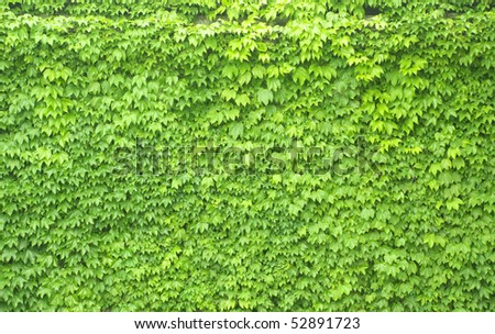 Boston Ivy on wall as a background