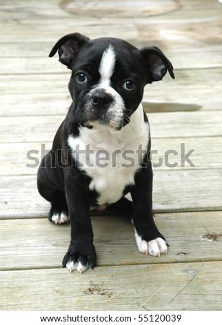 Boston puppy 6 - stock photo