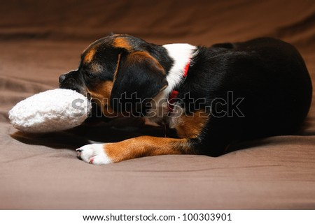 Boston Terrier and Beagle cross puppy - stock photo
