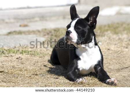 Boston Terrier checking things out!
