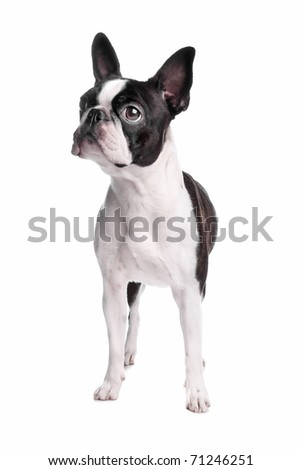 boston terrier dog