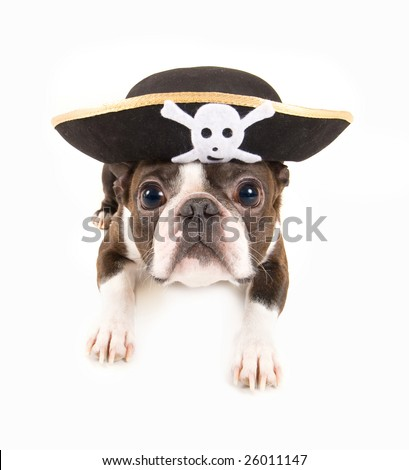 boston terrier dog dressed as a pirate