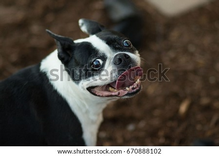 Boston Terrier Dog Smile #670888102