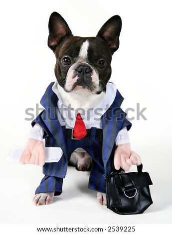 Boston Terrier in a business suit - stock photo