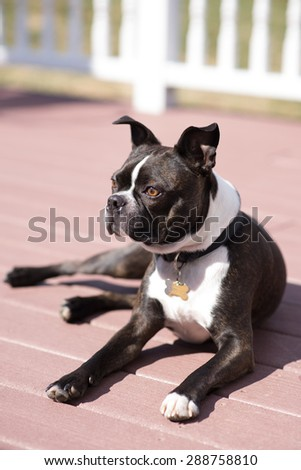 Boston Terrier laying down in the sun during the warm summer dog day