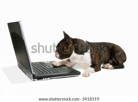 boston terrier on a laptop