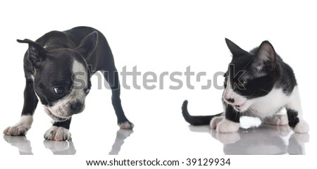 Boston Terrier puppy and kitten isolated on white.