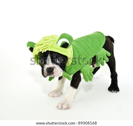 Boston Terrier puppy dressed up in a frog outfit on a white background.