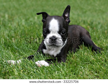 Boston Terrier puppy in the grass.