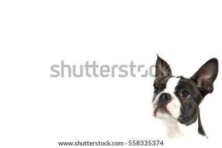 Boston terrier puppy isolated on white for copy space use. Room for text. The puppy is looking up in the middle of the image.